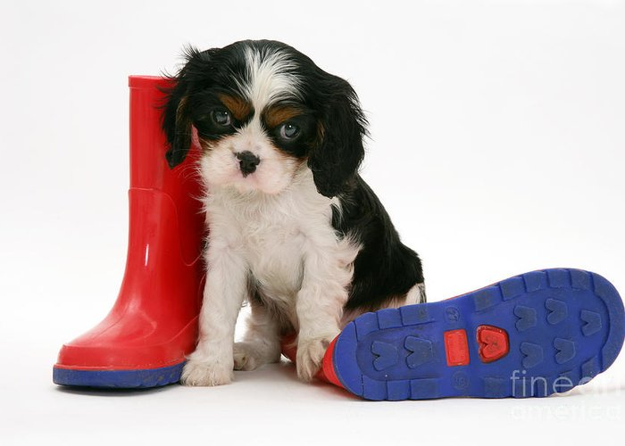 Animal Greeting Card featuring the photograph Puppies With A Childs Rain Boots by Jane Burton