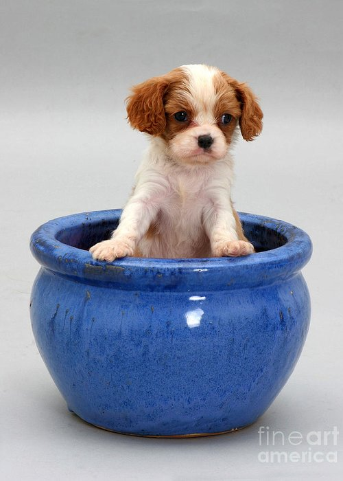 Animal Greeting Card featuring the photograph Puppy In A Pot by Jane Burton