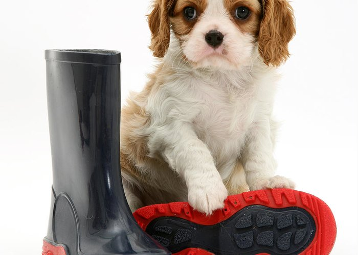 Animal Greeting Card featuring the photograph Puppy With Rain Boots by Jane Burton