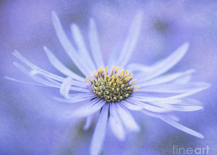 Flower Greeting Card featuring the photograph Purple Aster Flower by Neil Overy