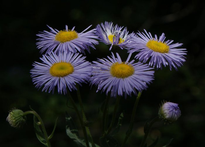 Asters Greeting Card featuring the photograph Purple Asters by Ernie Echols