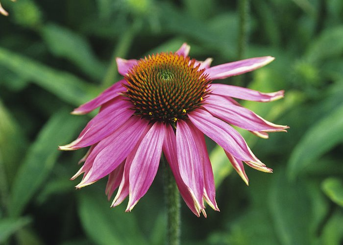 'kim's Knee High' Greeting Card featuring the photograph Purple Coneflower by Duncan Smith