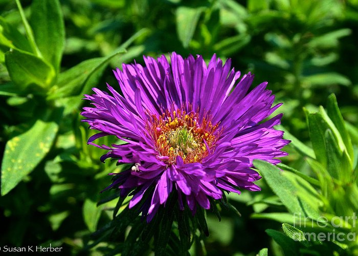 Outdoors Greeting Card featuring the photograph Purple Dome New England Aster by Susan Herber