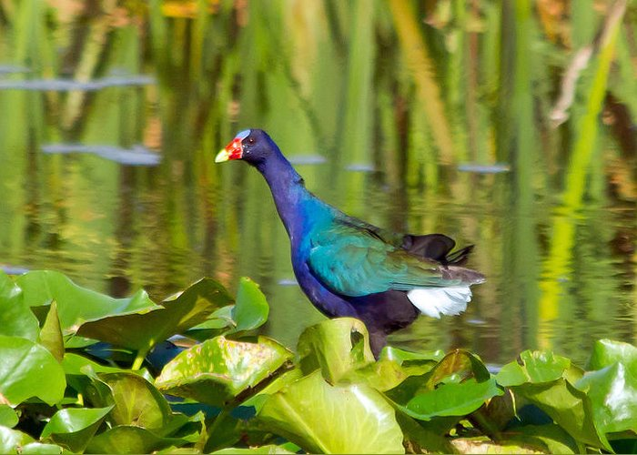 Purple Gallinule Greeting Card featuring the photograph Purple Gallinule by Wild Expressions Photography