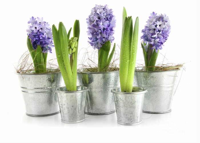 Background Greeting Card featuring the photograph Purple Hyacinths by Sandra Cunningham