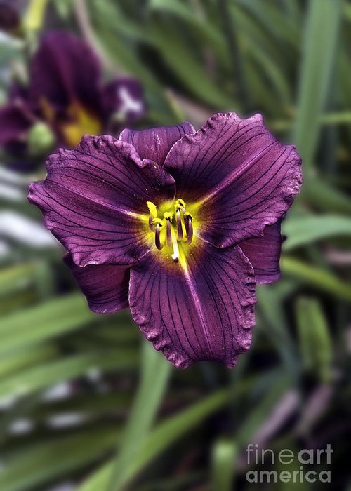 Nature Greeting Card featuring the photograph Purple Lilly by Jim Chamberlain