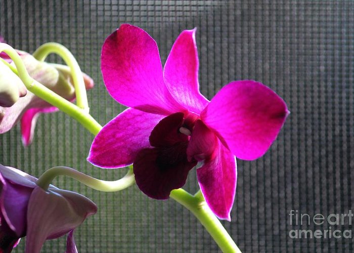 Purple Orchid Greeting Card featuring the photograph Purple Orchid Aglow by Theresa Willingham