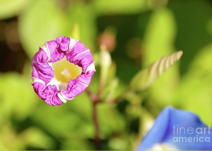Flowers Greeting Card featuring the photograph Purple Star by Ken Williams