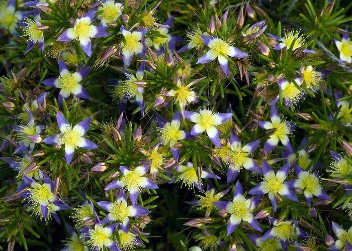 Purple Starflower Greeting Card featuring the photograph Purple Starflower (calytrix Depressa) by Bob Gibbons