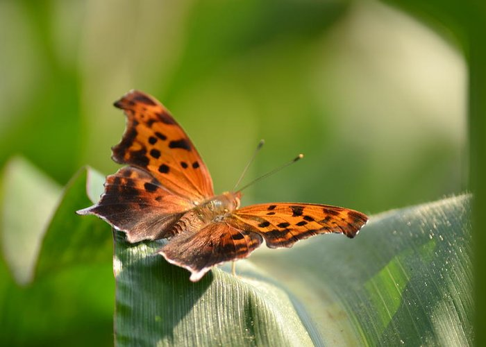 Butterfly Greeting Card featuring the photograph Question Mark Butterfly by JD Grimes