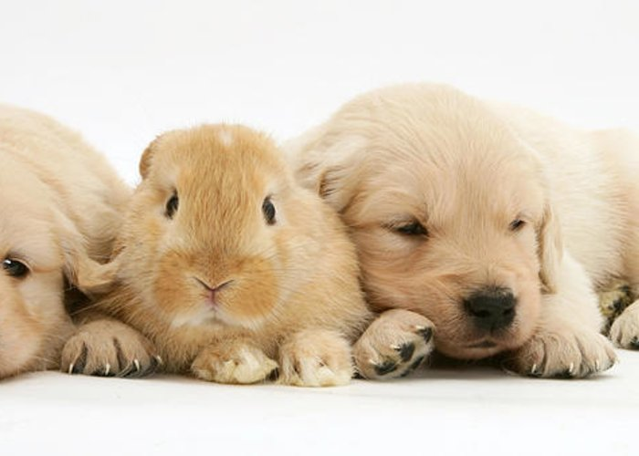 Sandy Lop Rabbit Greeting Card featuring the photograph Rabbit And Puppies by Jane Burton