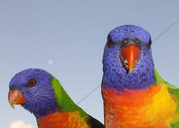 Birds Greeting Card featuring the photograph Rainbow Lorikeets by Pat Archer