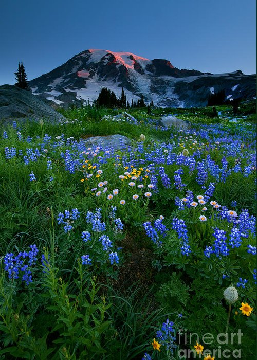 Rainier Greeting Card featuring the photograph Rainier Wildflower Dawn by Mike Dawson