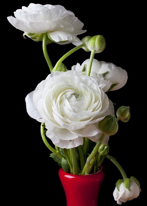 White Ranunculus Flower Red Greeting Card featuring the photograph Ranunculus In Red Vase by Garry Gay