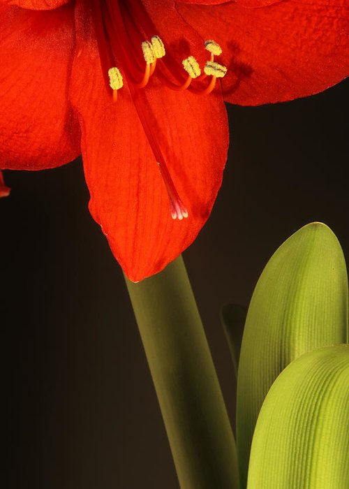 Amaryllis Greeting Card featuring the photograph Red Amaryllis by Brian Lee