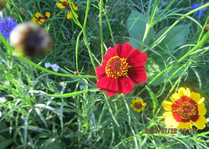 Flowers Greeting Card featuring the photograph Red And Yellow Tiny Flowers by Tina M Wenger