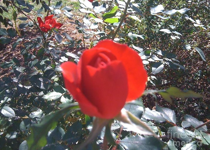 Red Rose Greeting Card featuring the photograph Red Attention by Barbara Plattenburg