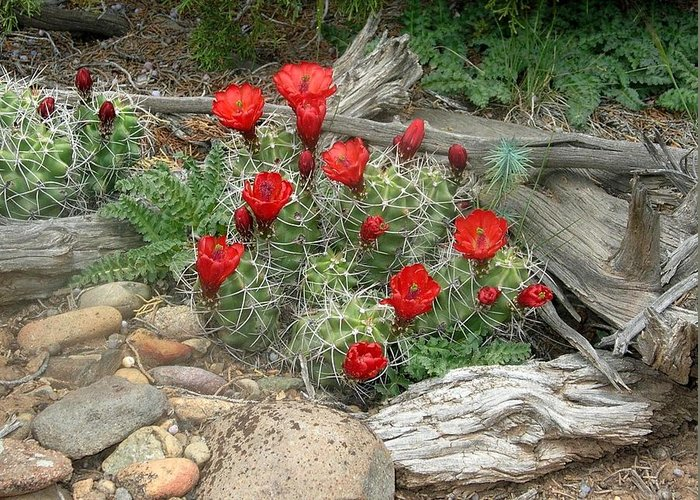 Cactus Greeting Card featuring the photograph Red Barrel Cactus by Amara Roberts