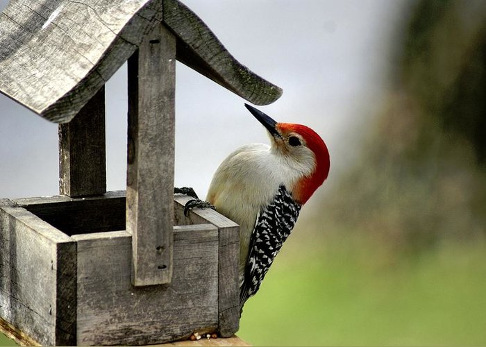 Red Bellied Woodpecker Greeting Card featuring the photograph Red Bellied Woodpecker by L Granville Laird