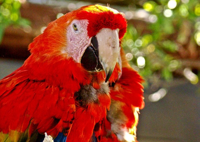 Parrot Greeting Card featuring the photograph Red Bird by Dennis Dugan