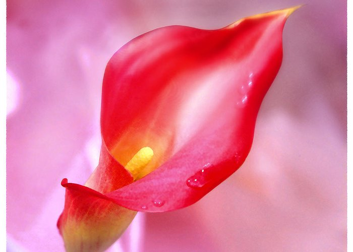 Red Calla Lily Greeting Card featuring the photograph Red Calla Lily by Mike McGlothlen