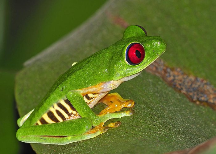 Costa Rica Greeting Card featuring the photograph Red-eyed Leaf Frog by Tony Beck