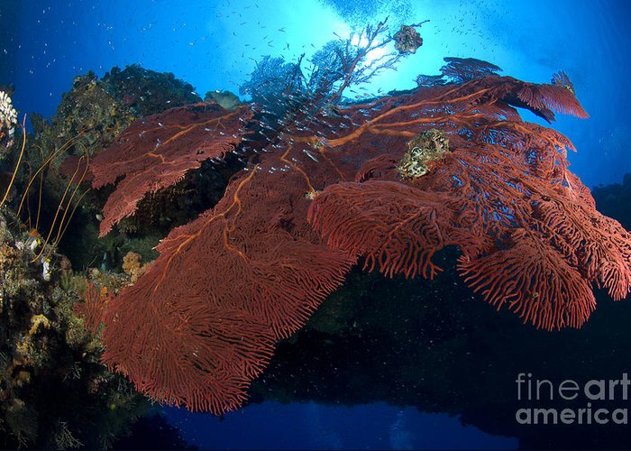 Anthozoa Greeting Card featuring the photograph Red Fan Cora With Sunburst, Papua New by Steve Jones