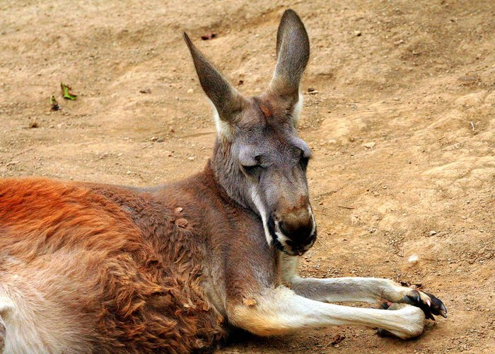 Macropus Rufus Greeting Card featuring the photograph Red Kangaroo by Laurel Talabere