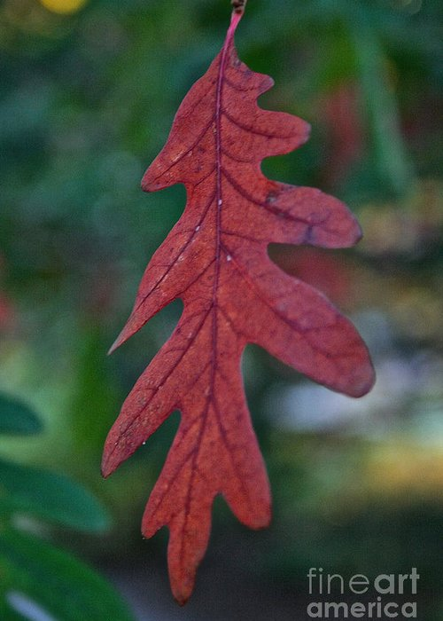 Outdoors Greeting Card featuring the photograph Red Leaf Hanging by Susan Herber