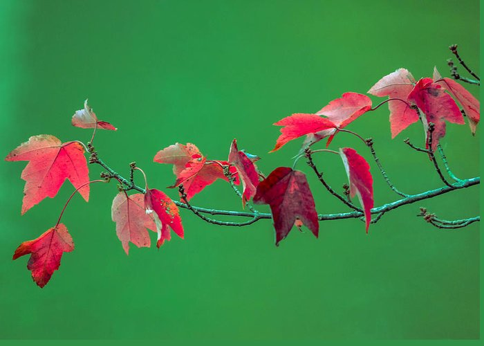 Greeting Card featuring the photograph Red Leaves by Brian Stevens