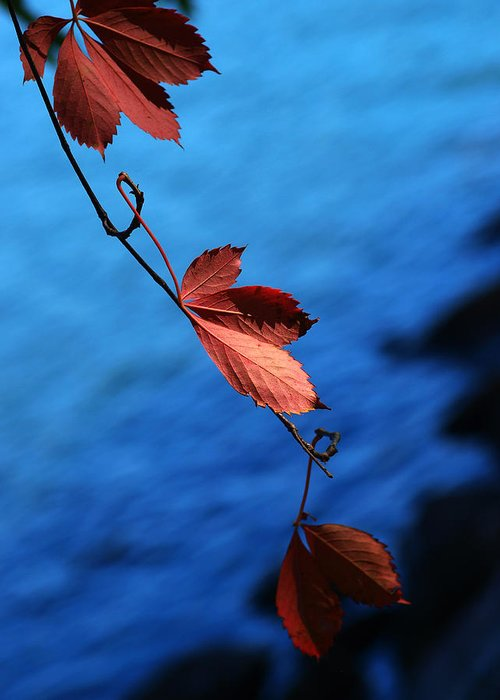 Red Greeting Card featuring the photograph Red Maple Leaves by Paul Ge