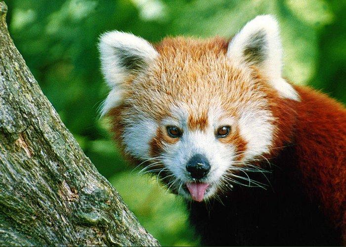 Panda: Red Panda: Wildlife: Nature: Greeting Card featuring the photograph Red Panda by Vic Sharratt