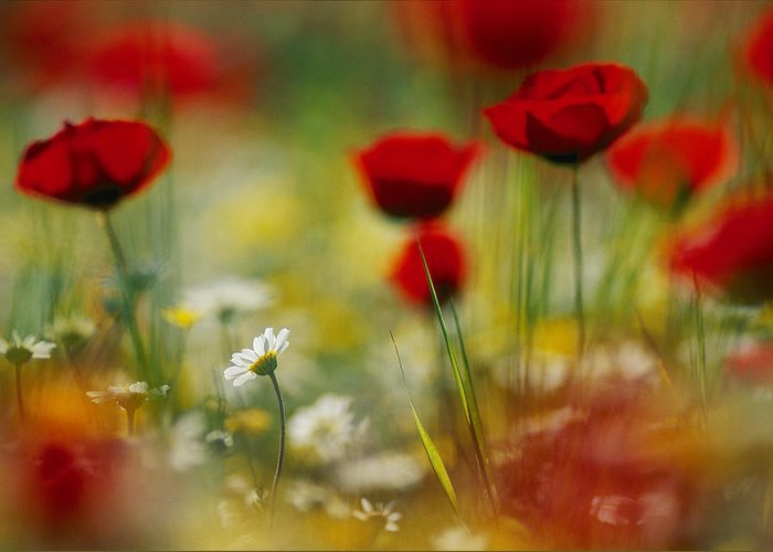 poppies Greeting Card featuring the photograph Red Poppies And Small Daisies Bloom by Annie Griffiths