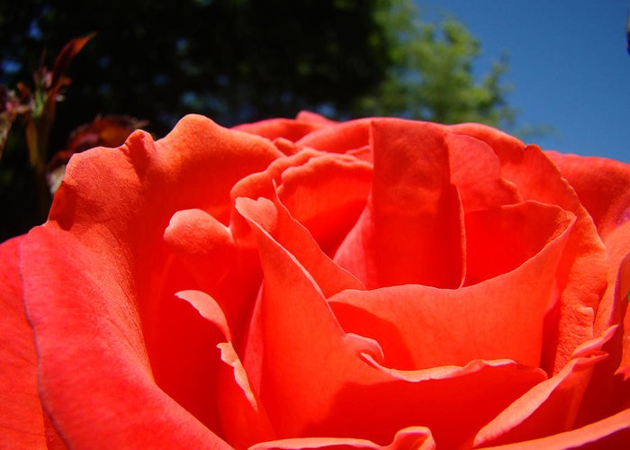 Rose Greeting Card featuring the photograph Red Rose Flower Fine Art Prints Roses Garden by Baslee Troutman