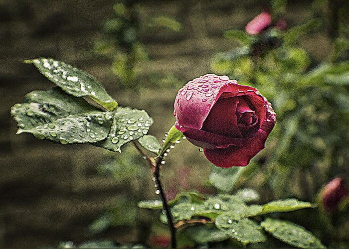 Rose Greeting Card featuring the photograph Red Rose In Water Drops by Alex AG