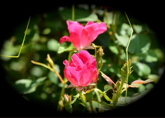 Rose Bush Greeting Card featuring the photograph Red Rose Vignette by Kathy Lewis