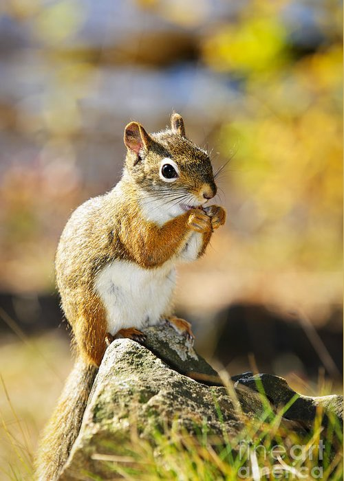 Red Squirrel Greeting Card featuring the photograph Red Squirrel by Elena Elisseeva
