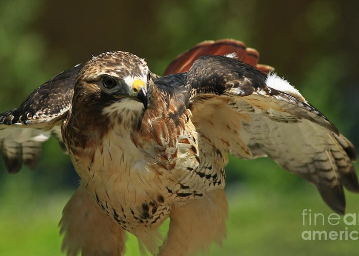 Raptors Greeting Card featuring the photograph Red Tailed Hawk by Inspired Nature Photography Fine Art Photography