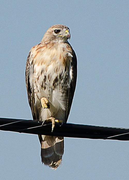 Hawk Greeting Card featuring the photograph Red-tailed Hawk by Shirley Tinkham