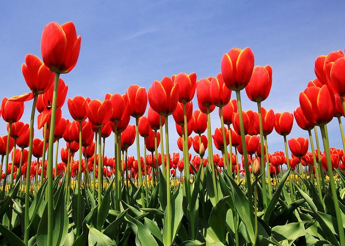 Tulips Greeting Card featuring the photograph Red Tulips by Kean Poh Chua