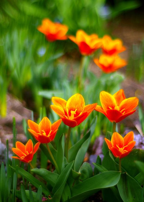 Tulip Greeting Card featuring the photograph Red Tulips by Paul Ge
