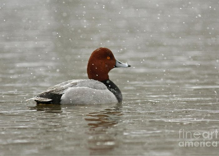 Canadian Greeting Card featuring the photograph Redhead Duck In Winter Snow Storm by Inspired Nature Photography Fine Art Photography