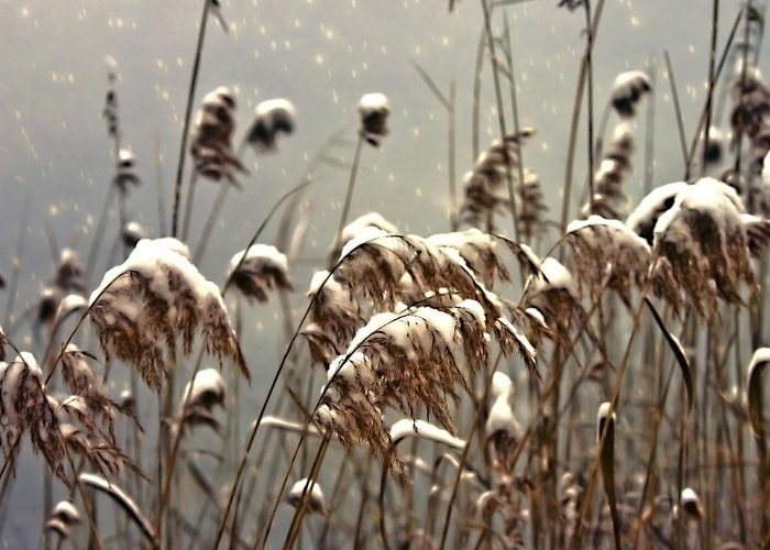 Reed Greeting Card featuring the photograph Reed In Snow by Joana Kruse