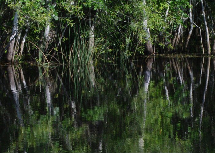 Water Trees Grass Reflections Sunlight Green Nature Florida Everglades Shine Glassy Ripples Greeting Card featuring the photograph Reflecting Pool by Becky Arvin