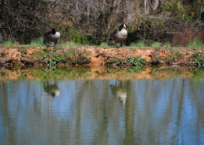 Goose Greeting Card featuring the photograph Reflections by Jai Johnson