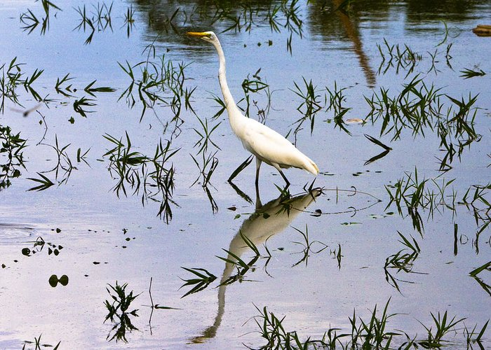 Amazon River Greeting Card featuring the photograph Reflections Of A White Bird by Robert Selin