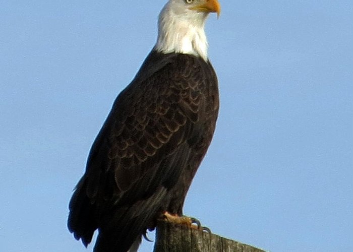Bald Eagle Greeting Card featuring the photograph Regal Eagle by Vicki McKee