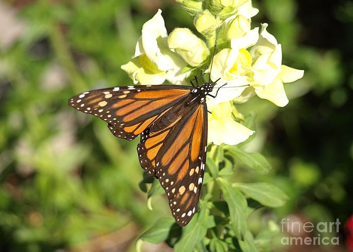 Butterfly Greeting Card featuring the photograph Monarch Butterfly Feeding On A Cluster Of Yellow Flowers by Jessica Foster