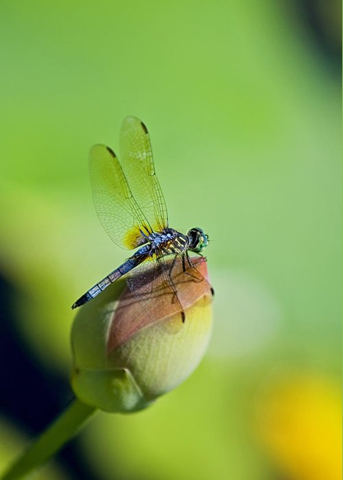 Dragon Fly On A Lily Greeting Cards