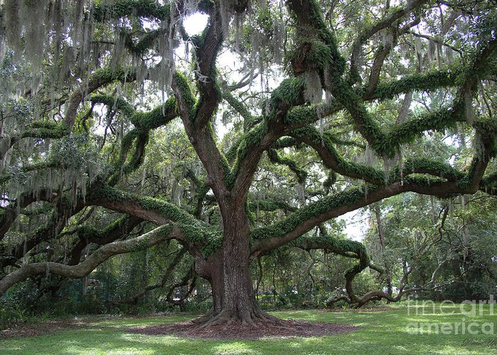 Live Oak Tree Greeting Card featuring the photograph Resurrection Oak by Dodie Ulery